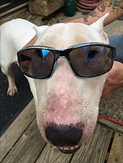 Bull Terrier Dog for adoption in Dallas, Texas - Niko