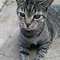 Adopt A Pet :: Dharma - Naples, FL