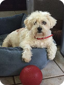 Cockapoo Mix Dog for adoption in El Segundo, California - Emily