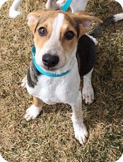 Shepherd (Unknown Type) Mix Puppy for adoption in Fort Collins, Colorado - Bridget