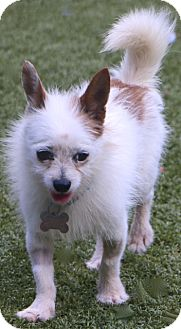 Chihuahua Mix Dog for adoption in Bedminster, New Jersey - Campbell