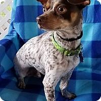 Adopt A Pet :: Radar - Danbury, CT