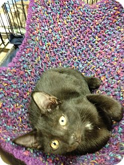 Domestic Shorthair Kitten for adoption in Fort Lauderdale, Florida - Samson