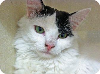 Domestic Longhair Kitten for adoption in Riverhead, New York - Puff