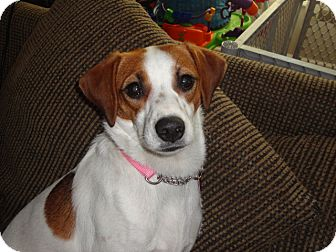 Beagle Mix Dog for adoption in Manchester, Connecticut - Nora in CT
