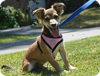 Sheltie, Shetland Sheepdog/Papillon Mix Puppy for adoption in Los Angeles, California - Charlie
