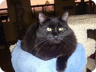 Domestic Mediumhair Cat for adoption in Fountain Hills, Arizona - Felix