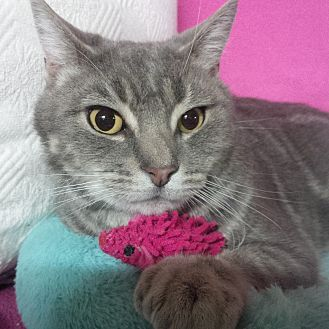 Domestic Shorthair Cat for adoption in Staten Island, New York - Savannah