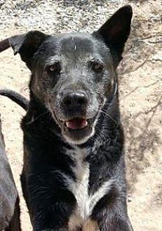Australian Kelpie/German Shepherd Dog Mix Dog for adoption in El Cajon, California - Lily