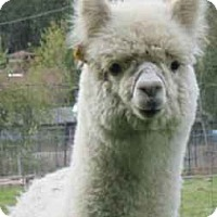 Adopt A Pet :: Gus - Roy, WA