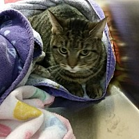 Domestic Shorthair Cat for adoption in Marlboro, New Jersey - Baby Jane
