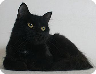 Domestic Longhair Cat for adoption in Redding, California - Olive