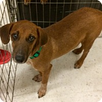 Adopt A Pet :: daisy 3 in CT - Manchester, CT