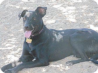 Flat-Coated Retriever/Labrador Retriever Mix Dog for adoption in Las Cruces, New Mexico - Jackie