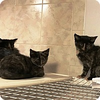 Adopt A Pet :: Torti Girls - Grand Junction, CO