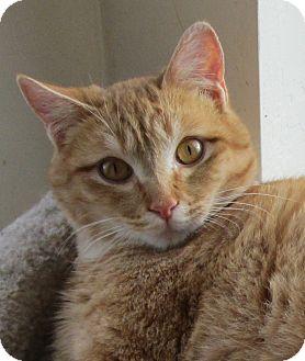 Domestic Shorthair Cat for adoption in Buhl, Idaho - Perkins