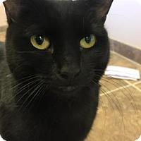 Domestic Shorthair Cat for adoption in Cumming, Georgia - Shadow