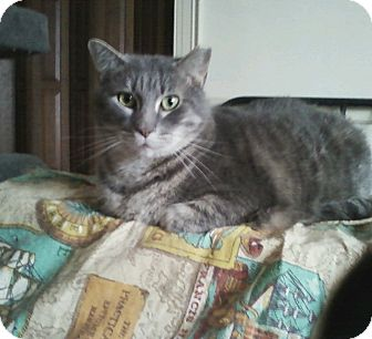 Domestic Shorthair Cat for adoption in Warminster, Pennsylvania - Larry