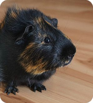 Guinea Pig for adoption in Brooklyn Park, Minnesota - Jack