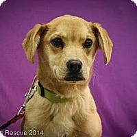 Adopt A Pet :: Hansel - Broomfield, CO
