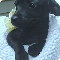 Adopt A Pet :: Cameren - Foster, RI