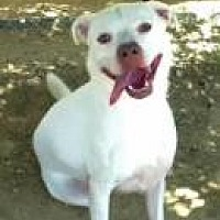 Labrador Retriever/American Bulldog Mix Dog for adoption in Jackson, Mississippi - Dee Dee