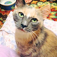Calico Cat for adoption in Burlington, North Carolina - JENNIPURR