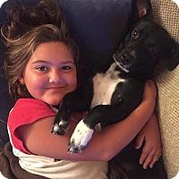 Adopt A Pet :: Piper - Sinking Spring, PA