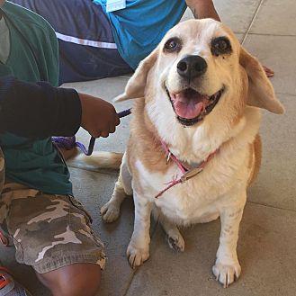 Beagle Dog for adoption in Acton, California - DayZee