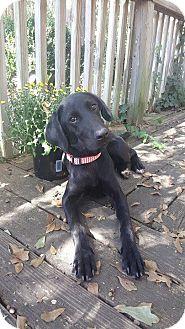 Labrador Retriever Mix Puppy for adoption in Ellaville, Georgia - Sally