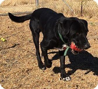 Labrador Retriever/Border Collie Mix Dog for adoption in San Francisco, California - Bo