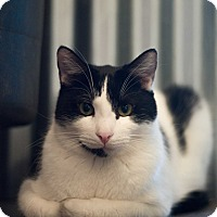 Adopt A Pet :: Knight - Los Angeles, CA