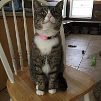 Adopt A Pet :: Meredith - Algonquin, IL