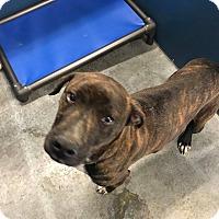 Adopt A Pet :: Blitz (HW Pos)* - Henderson, NC