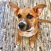 Adopt A Pet :: Bingo - Nyack, NY
