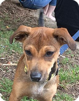 Dachshund Mix Puppy for adoption in Rockville, Maryland - Pup Cocoa