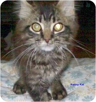 Maine Coon Cat for adoption in McMinnville, Tennessee - Kenny Kat