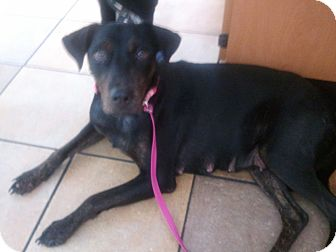 Doberman Pinscher/German Shepherd Dog Mix Dog for adoption in Arlington, Texas - Lady