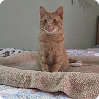 Domestic Shorthair Cat for adoption in St. Paul, Minnesota - Tuffy