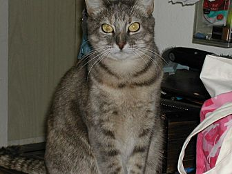 Domestic Shorthair Cat for adoption in Naples, Florida - Julia