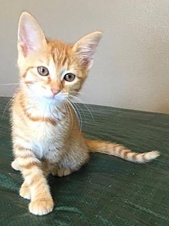 Domestic Mediumhair Cat for adoption in Hammond, Louisiana - Shelly