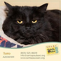 Domestic Longhair Cat for adoption in Santa Paula, California - Toro