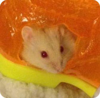 Hamster for adoption in St. Paul, Minnesota - Fireball