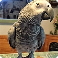 Adopt A Pet :: Barney Bob - Lenexa, KS
