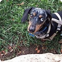 Adopt A Pet :: Maestro - Ogden, UT