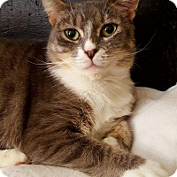 Domestic Shorthair Cat for adoption in Salisbury, Massachusetts - Downy