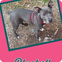 Adopt A Pet :: Bluebell - Scottsdale, AZ