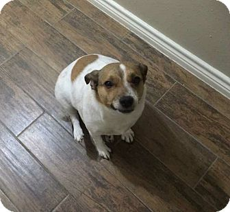 Jack Russell Terrier Mix Dog for adoption in Austin, Texas - Trish in Spring, TX
