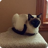Adopt A Pet :: Kiwi (unique kitty) - Sterling Hgts, MI