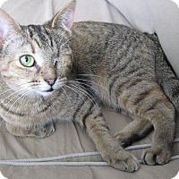 Adopt A Pet :: Catticus - Toronto, ON